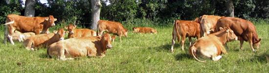 Filière viande bovine