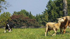 Formation Normandie : Dresser mon chien de troupeau - Perfectionnement